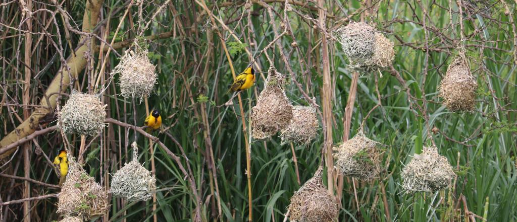 Weaver birds and nests, Ethiopia