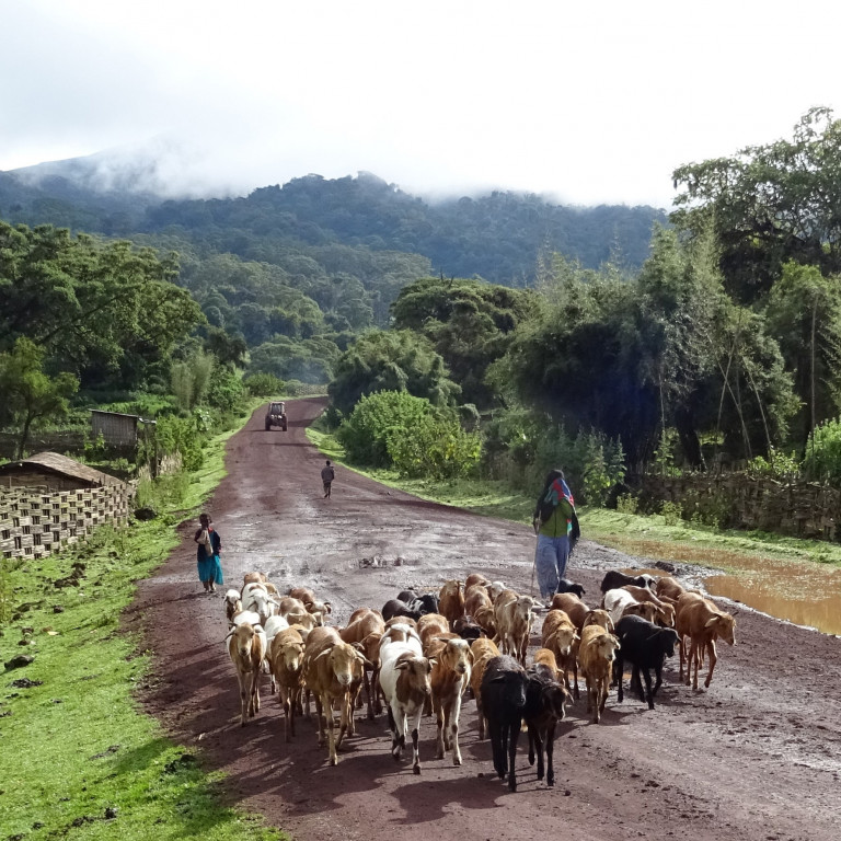 Herding cattle, rural life, Bale Mountains, Ethiopia