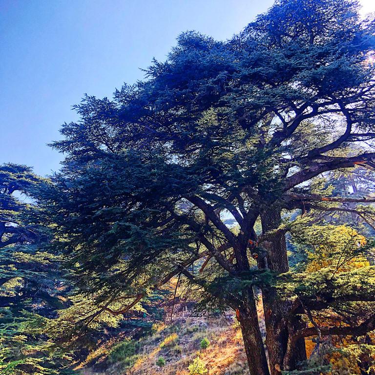 Cedar forests, Lebanon