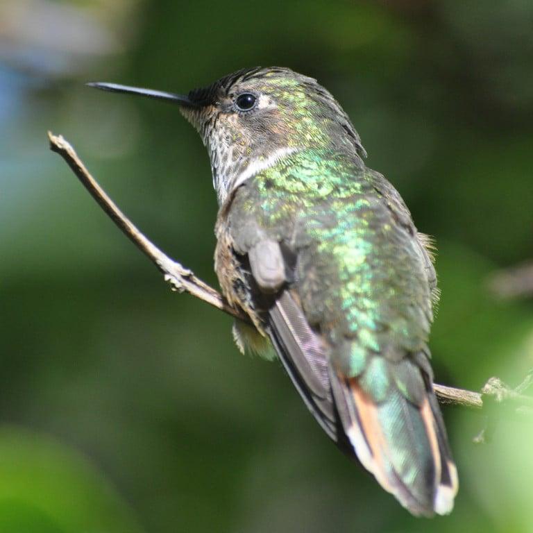 Volcano Hummingbird, Costa Rica