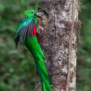 Quetzal, Los Quetzales National Park, Costa Rica