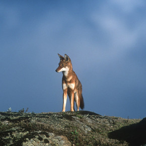 Ethiopian wolf in the Bale Mountains, Ethiopia