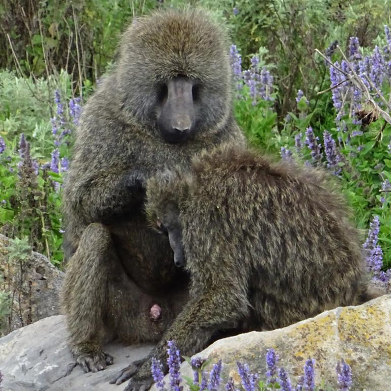 Preening Gelada monkeys, Bale Mountains, Ethiopia
