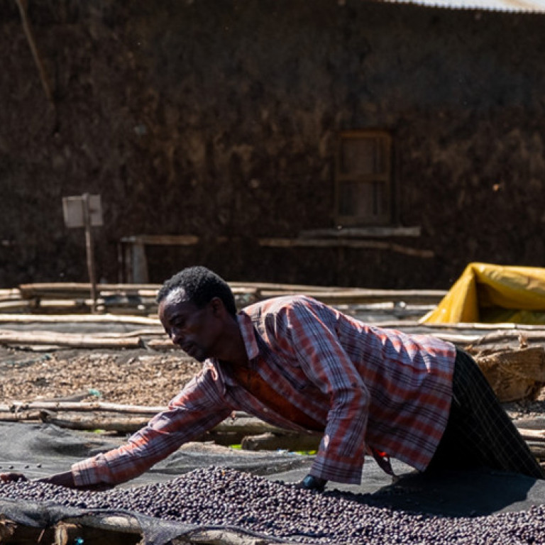 Drying Ripe Cherries, Origin of Coffee Journey, Ethiopia
