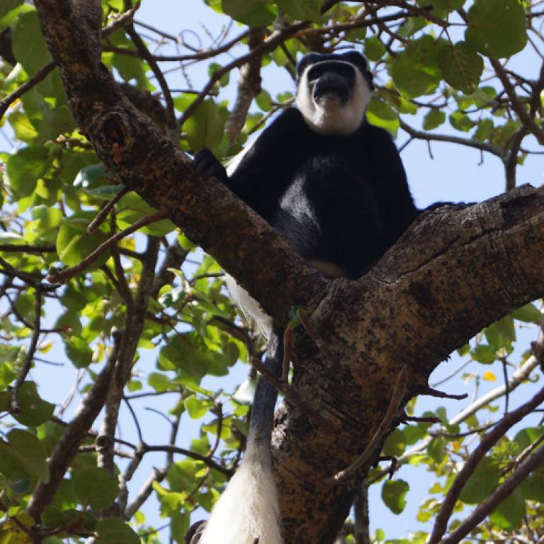 Colobus Monkey, Kafa Biosphere Reserve, Ethiopia