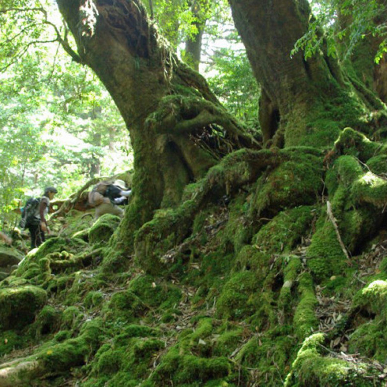 Lush green forests of Yakushima, Lost Islands of Japan