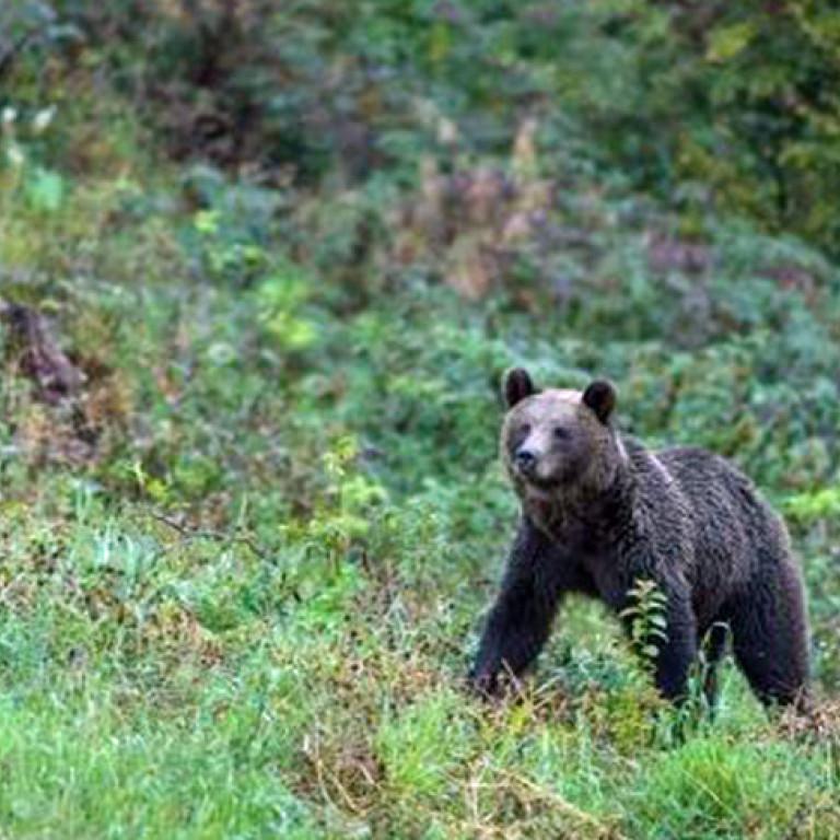 Brown bear, Carpathian Mountains, Romania
