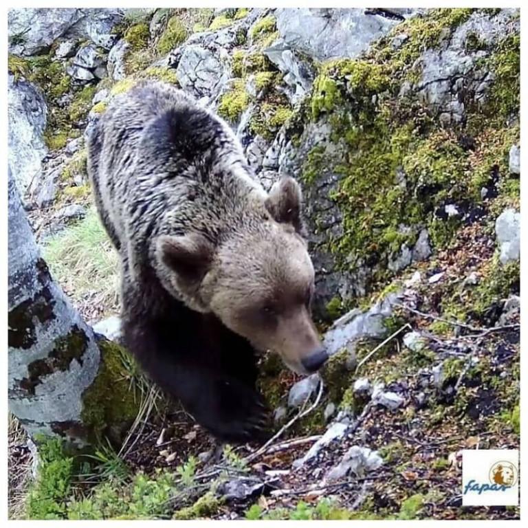 Brown bear in the Picos de Europa
