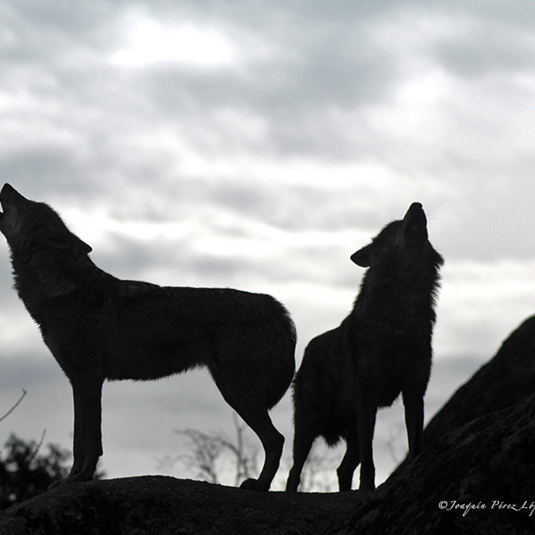 Wolves, Picos Mountains, Spain