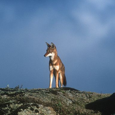 Ethiopian wolf in the Bale Mountains, Ethiopia