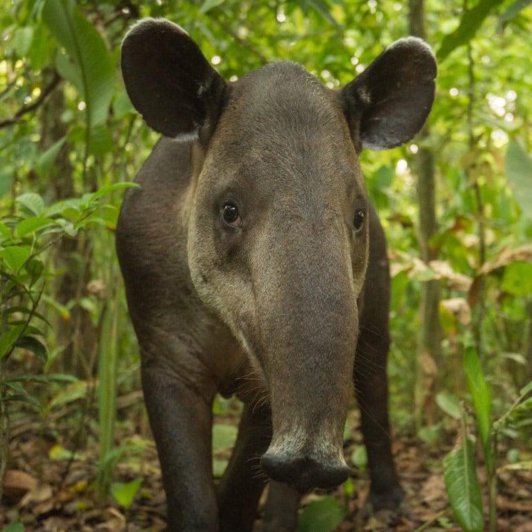 Tapir in Corcovado National Park, Costa Rica