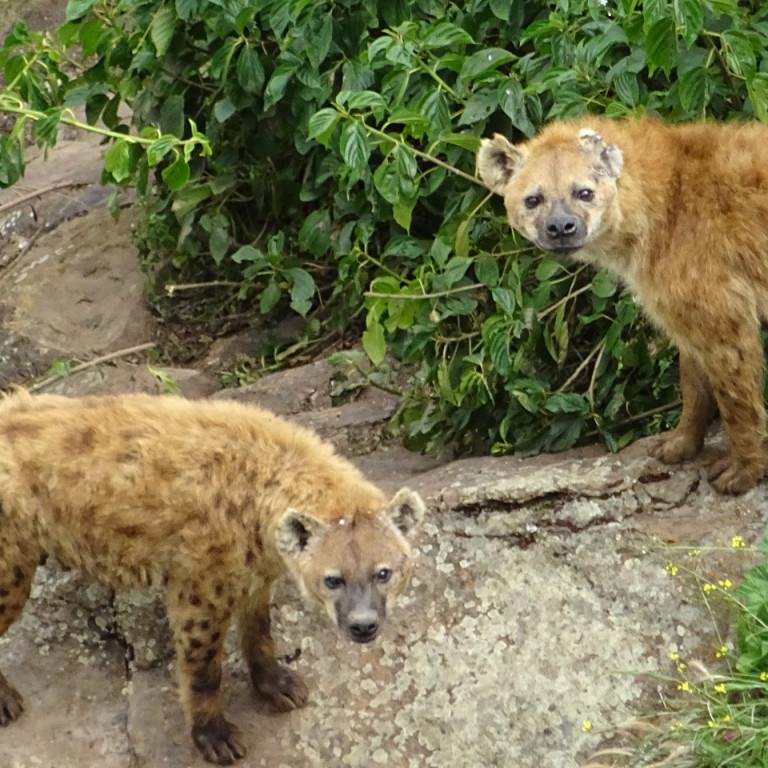 Hyena, Bale Mountains, Ethiopia