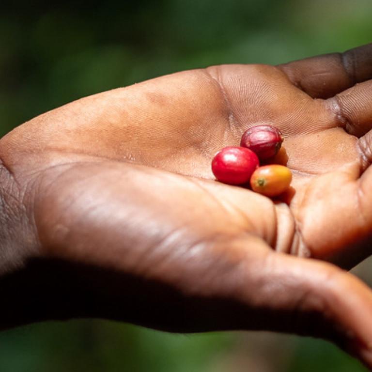 Wild Coffee Cherries, Kafa Biosphere, Ethiopia