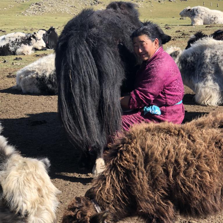 Milking Yaks, Naiman Nuur, Mongolia