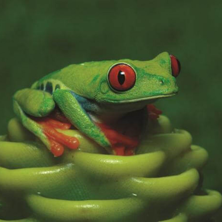 Tree Frog-Forests & Shores of Costa Rica